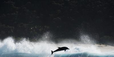 Bottlenosed Dolphin (Tursiops Truncatus) Porpoising During Annual Sardine Run Fotografie-Druck von Wim van den Heever