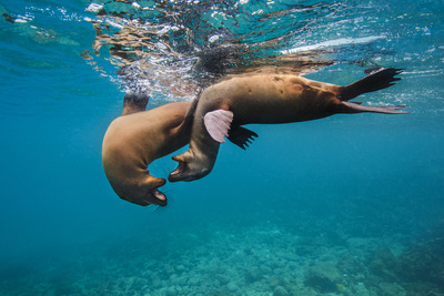Galapagos Sea Lions (Zalophus Wollebaeki) Young Playing in Shallow Water Photographic Print by Alex Mustard