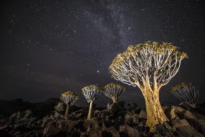 Quiver Trees (Aloe Dichotoma) with the Milky Way at Night, Keetmanshoop, Namibia Fotografie-Druck von Wim van den Heever