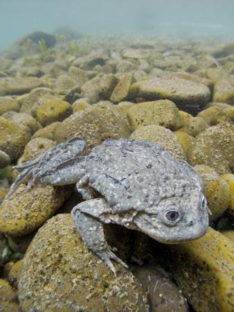 Titicaca Water Frog (Telmatobius Culeus) Underwater Resting on the Lake Bed, Lake Titicaca, Bolivia Photographic Print by Bert Willaert