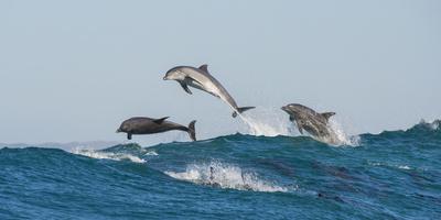 Bottlenosed Dolphins (Tursiops Truncatus) Porpoising During Annual Sardine Run Fotografie-Druck von Wim van den Heever