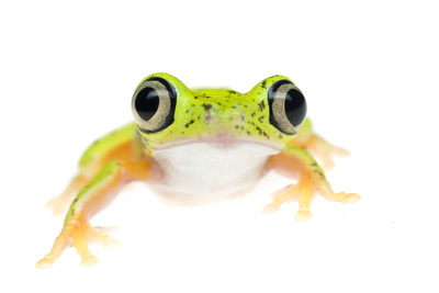 Lemur Leaf Frog (Hylomantis Lemur) Captive, Occurs in Central and South America Photographic Print by Edwin Giesbers