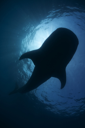 Whale Shark (Rhincodon Typus) Backlit, Isla Mujeres, Caribbean Sea, Mexico, August Photographic Print by Claudio Contreras
