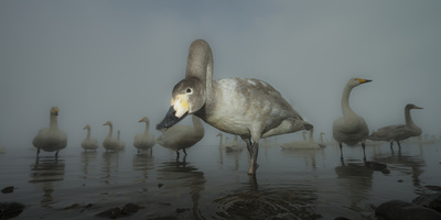 Whooper Swans (Cygnus Cygnus) Juvenile with Adults Behind, on Frozen Lake Kussharo, Hokkaido, Japan Fotografie-Druck von Wim van den Heever
