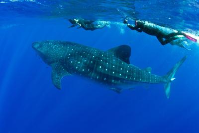 Snorkelers Swimming with Whale Shark (Rhincodon Typus) Santa Maria Island Photographic Print by Franco Banfi