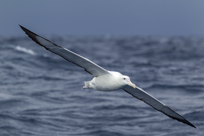 Southern Royal Albatross (Diomedea Epomophora) Flying Low over the Sea Photographic Print by Brent Stephenson