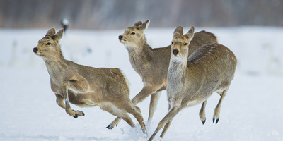 Sika Deer (Cervus Nippon) Three Females Running and Playing in Snow. Hokkaido, Japan, March Fotografie-Druck von Wim van den Heever