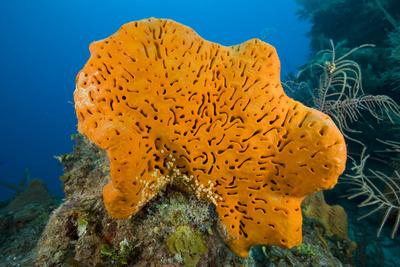 Orange Elephant Ear Sponge (Agelas Clathrodes) Santa Lucia Photographic Print by Franco Banfi