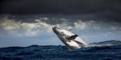 Humpback Whale (Megaptera Novaeangliae) Breaching During Annual Sardine Run Fotografie-Druck von Wim van den Heever