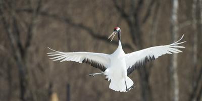 Japanese Crane (Grus Japonensis) Jumping in the Air, Hokkaido, Japan, March Fotografie-Druck von Wim van den Heever