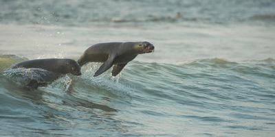 South African Fur Seals (Arctocephalus Pusillus Pusillus) Surfing Out on Wave. Walvisbay, Namibia Fotografie-Druck von Wim van den Heever