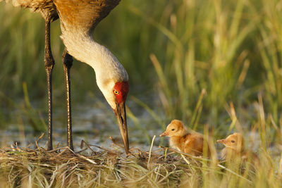 Sandhill Crane (Grus Canadensis) with Two Newly Hatched Chicks on a Nest in a Flooded Pasture Fotografisk tryk af Gerrit Vyn