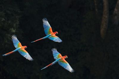 Red-And-Green Macaw (Ara Chloropterus) Group of Three in Flight, Pantanal, Brazil. August Fotografie-Druck von Wim van den Heever