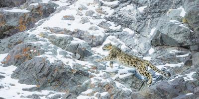 Snow Leopard (Panthera Uncia) Hemis National Park, India, February Fotografie-Druck von Wim van den Heever