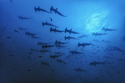 Schooling Scalloped Hammerhead Sharks (Sphyrna Lewini) Cocos Island National Park, Costa Rica Photographic Print by Franco Banfi