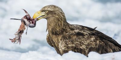 White Tailed Sea Eagle (Haliaeetus Albicilla) Feeding on Fish on Pack Ice Fotografie-Druck von Wim van den Heever
