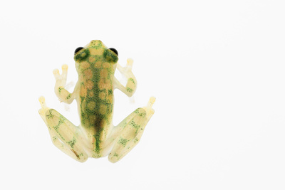Reticulated Glass Frog (Hyalinobatrachium Valerioi) Captive Photographic Print by Edwin Giesbers