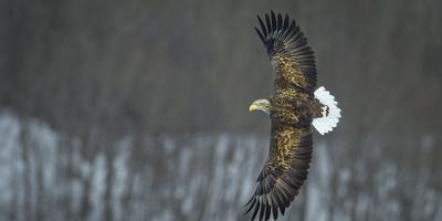 White Tailed Sea Eagle (Haliaeetus Albicilla) in Flight, Hokkaido, Japan, March Fotografie-Druck von Wim van den Heever