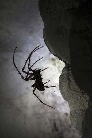 European Cave Spider (Meta Menardi) in Limestone Cave. Plitvice Lakes National Park, Croatia Photographic Print by Alex Hyde