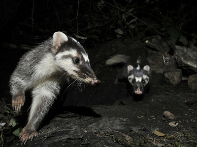 Chinese Ferret Badger (Melogale Moschata) Two Captured by Camera Trap at Night Photographic Print by Shibai Xiao