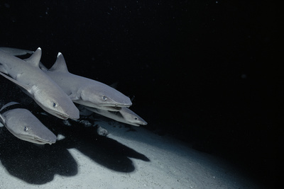 Whitetip Reef Shark Pack Hunting at Night (Triaenodon Obesus) Cocos Is, Costa Rica, Pacific Ocean Photographic Print