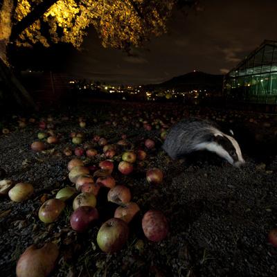 Badger (Meles Meles) under a Garden Apple Tree at Night. Freiburg Im Breisgau, Germany, November Photographic Print by Klaus Echle