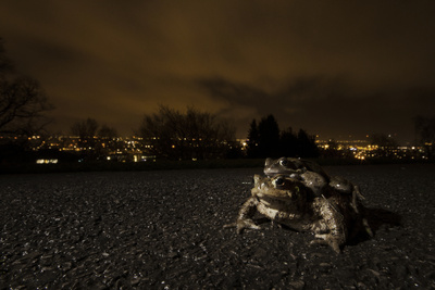 Common Toad (Bufo Bufo) and Common Frog (Rana Temporaria) in Amplexus in Urban Park Photographic Print by Sam Hobson