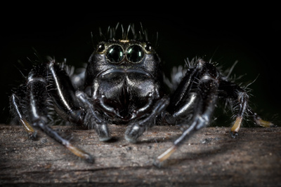 Black Jumping Spider (Salticidae) Photographic Print by Alex Hyde