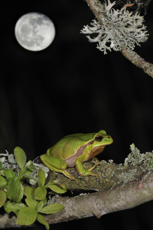 European - Common Tree Frog (Hyla Arborea) Sitting on Branch Covered in Lichen at Night Photographic Print by Philippe Clément