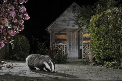 European Badger (Meles Meles) Feeding on Food Left Out in Urban Garden, Kent, UK, May Photographic Print by Terry Whittaker