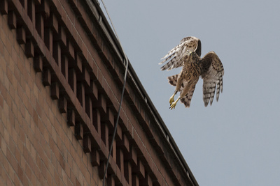 Northern Goshawk (Accipiter Gentilis), Juvenile Taking Flight from Building. Berlin, Germany. July Stampa fotografica di Sam Hobson