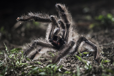 Colombian Pink-Toed Tarantula (Avicularia Metallica) in Defensive Posture Photographic Print by Nick Garbutt