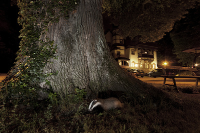 Badger (Meles Meles) Foraging by a Tree Near Buildings. Freiburg Im Breisgau, Germany, May Photographic Print by Klaus Echle