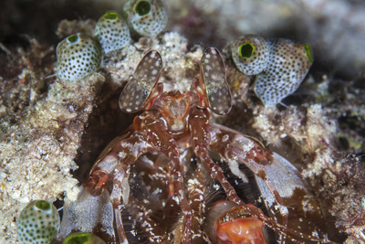 A Mantis Shrimp Peers Out of its Lair on a Reef in Indonesia Photographic Print by  Stocktrek Images