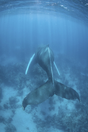 A Humpback Whale in the Caribbean Sea Photographic Print by  Stocktrek Images