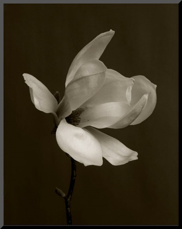 White Magnolia Flower Mounted Print by Charlie Hopkinson