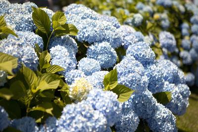 Blue Hydrangea Photographic Print by Karyn Millet