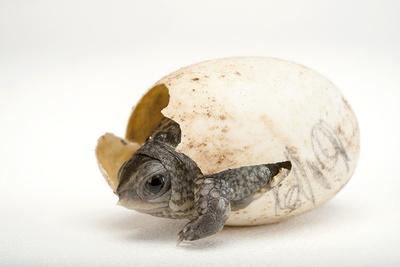 An Endangered Aquatic Box Turtle, Terrapene Coahuila, Hatches from His Egg. Photographic Print by Joel Sartore