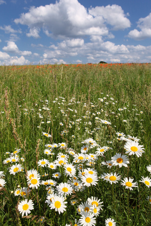 Schleswig-Holstein, Field with Camomile Blossoms Photographic Print by Catharina Lux