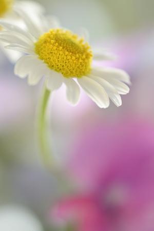 Camomile, Matricaria Chamomilla, Blossom, Close-Up Photographic Print by Andreas Keil