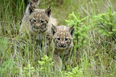 Meadow, Carpathian Mts Lynxes, Lynx Carpathicus, Young Animals, Edge of the Forest Photographic Print by Ronald Wittek