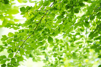 Beech Leaves, Branches, Close-Up Photographic Print by Alexander Georgiadis
