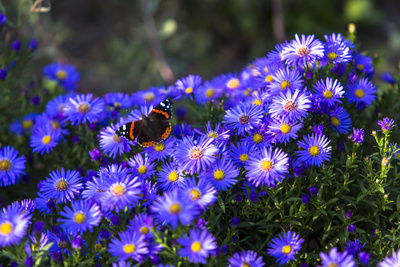 Red Admiral Butterfly Sitting on Flowers Photographic Print by Markus Leser