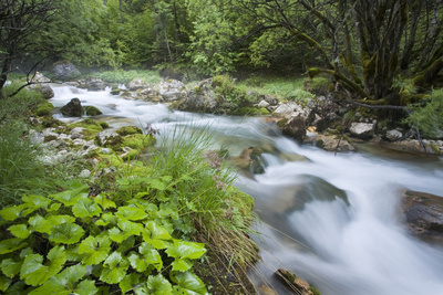 Slovenia, Triglav, National-Park, Rapids, Nature, Plants, Torrent Photographic Print by Rainer Mirau