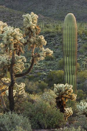 Carnegiea Gigantea, Saguaro Cacti, Hieroglyphic Trail, Lost Dutchman State Park, Arizona, Usa Photographic Print by Rainer Mirau