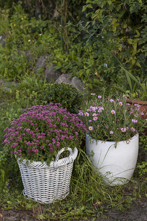 Asters in the Pot Photographic Print by Andrea Haase