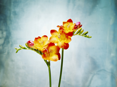 Freesia, Flower, Blossoms, Buds, Still Life, Red, Yellow, Blue Photographic Print by Axel Killian