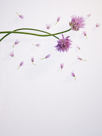 Chives, Allium, Allium Schoenoprasum, Stalks, Green, Blossoms, Chives Blossom Photographic Print by Axel Killian