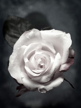 Close-Up of a White Rose on Black Background Photographic Print by Alaya Gadeh