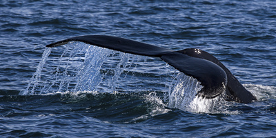 Humpback Whale (Megaptera Novaeangliae) Whale Watching, HáSavik, Iceland, Europe Photographic Print by Dieter Meyrl
